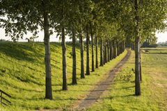 Path poplar trees. View of a path trough the poplar trees and next to the land on a summer evening stock image