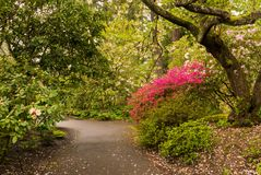 A path in Portland`s Crystal Springs Rhododendron Garden Royalty Free Stock Photo