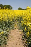 Path in rape field Royalty Free Stock Photos