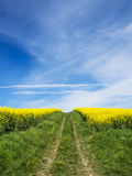 Path in rapefield with sky Stock Image