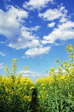 Path through rapeseed field, blue sky with clouds Royalty Free Stock Photography