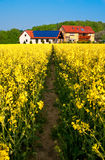 Path in rapeseed to modern farm Royalty Free Stock Photos