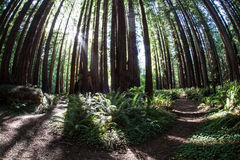 Path Through Redwood Forest Royalty Free Stock Photo