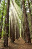 Redwood Tree Plantation royalty free stock photos