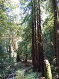 A Path through Redwood Trees. A path meanders past giant redwood trees in the forest stock photography