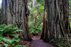 Path between redwood trees. A well maintained path leading between two redwood trees in northern california royalty free stock photography