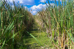 A path through reed Stock Photo