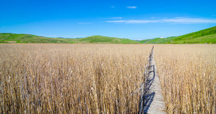 Path through reed field Stock Image