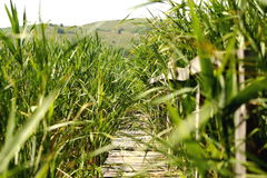 Path through the reeds Royalty Free Stock Photos