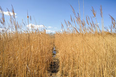 Path Through the Reeds Royalty Free Stock Photo