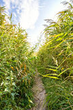 Path in the Reeds Royalty Free Stock Photos