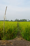 Path in a rice field. Foot path in green rice field Royalty Free Stock Image