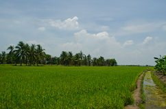 Path in a rice field. Foot path in green rice field Stock Photos