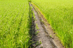 Path in the rice field Royalty Free Stock Images