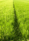 Path between rice field block Stock Image