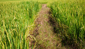 Path between rice fields. Eiiib made ​​from rice royalty free stock photos