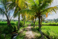 Path through rice fields stock images