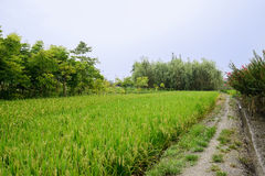 Path beside rice fields after summer rain Royalty Free Stock Images