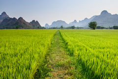 Path in rice paddy Stock Images