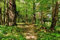 Path Road Way Pathway On Sunny Day In Summer Sunny Forest at Sunset or Sunrise. Nature Woods in Sunlight Royalty Free Stock Photography