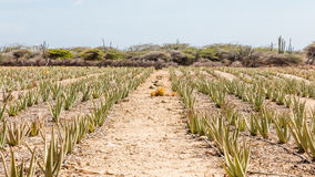 Path Through Rows of Aloe Stock Photo