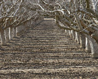 Path between rows of dormant fruit trees Stock Photos
