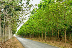 Path in rubber forest Stock Images
