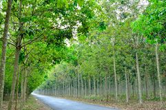 Path in rubber forest Stock Image