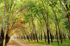 Path in rubber forest Royalty Free Stock Images