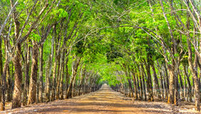 Path rubber forests so beautiful Royalty Free Stock Photo