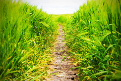 Path in the rye field Royalty Free Stock Photography