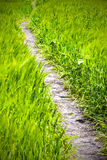 Path in the rye field Royalty Free Stock Photos