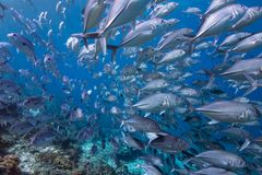 In the Path. A school of fish in Indonesia Stock Images