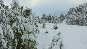Path through Siberia winter forest under the snow steadicam shot. Christmas tree the beauty nature landscape outdoors. Path through Siberia winter forest under stock video footage