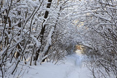 Path in snow drifts through the trees. Stock Photography
