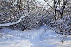 Path in snow drifts through the trees. Stock Image
