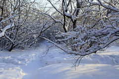 Path in snow drifts through the trees. Royalty Free Stock Image