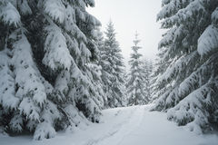 Path on the snow in the spruce forest Stock Photos