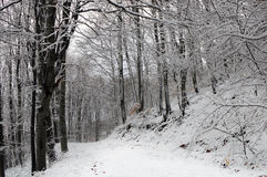 Path in a Snowy Beech Forest. Snow covered white path in beech forest. The sky is barely seen through the dark silhouettes of the trees Stock Image