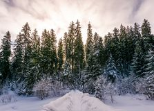 Path in snowy spruce forest. Beautiful nature scenery in Winter Carpathians. location Synevyr National park, Ukraine Royalty Free Stock Photos