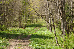 Path in a Spring  forest. Royalty Free Stock Photography
