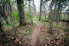 The path through the spring forest goes around the pine tree Stock Photos