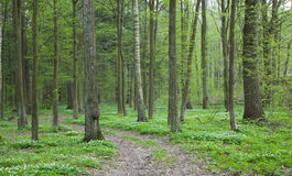 Path through spring forest with Wood Anemone Royalty Free Stock Photos