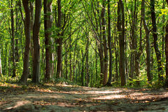 Path through spring green forest Royalty Free Stock Image