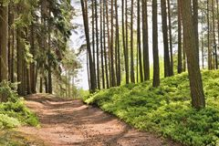 Path in spring pine forest  Machuv kraj tourist area in Czech republic Royalty Free Stock Images