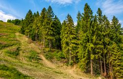 Path through spruce forest on hillside Royalty Free Stock Photos