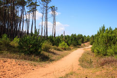 Path between spruce trees Stock Photos