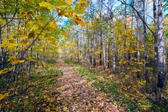 The path strewn with yellow leaves in autumn forest . Royalty Free Stock Images