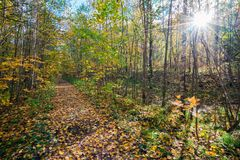 The path strewn with yellow leaves in autumn forest with bright sun. The path strewn with yellow leaves autumn forest with bright sun Royalty Free Stock Photo