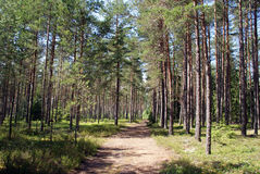 Path into Summer Pine Forest. A footpath into young pine forest an a sunny day in June. Photographed in Pernio, Finland Stock Photos